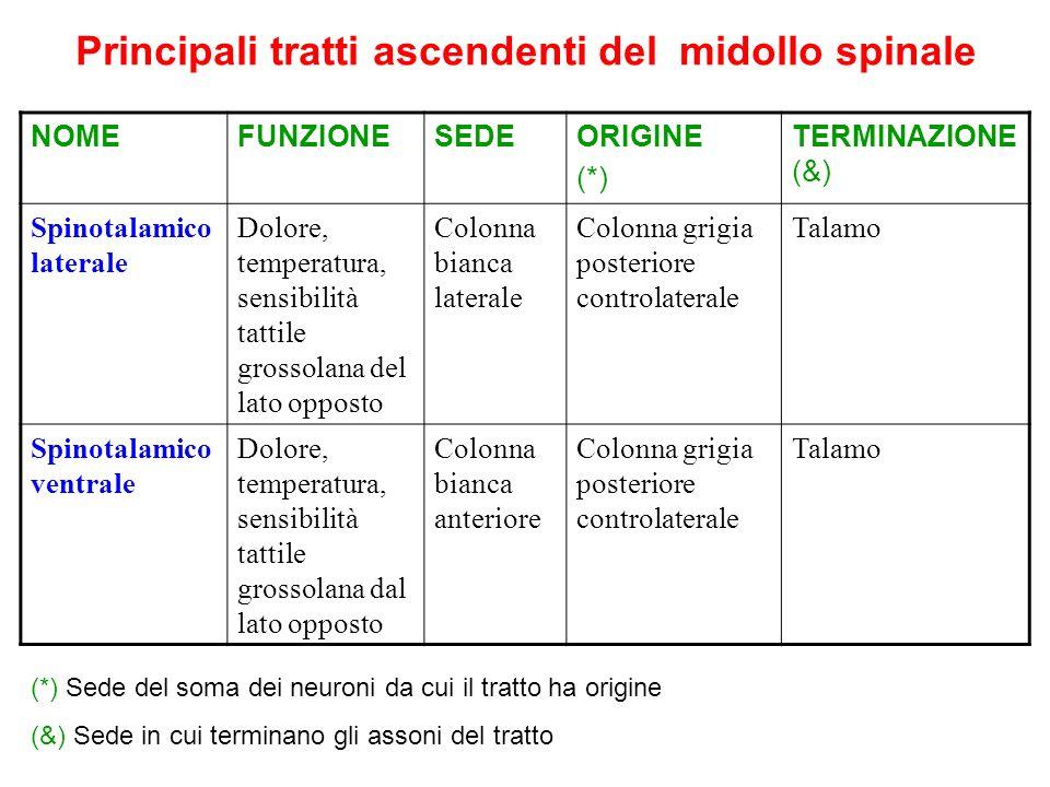 Principali tratti ascendenti del midollo spinale NOMEFUNZIONESEDEORIGINE (*) TERMINAZIONE (&) Spinotalamico laterale Dolore, temperatura, sensibilità