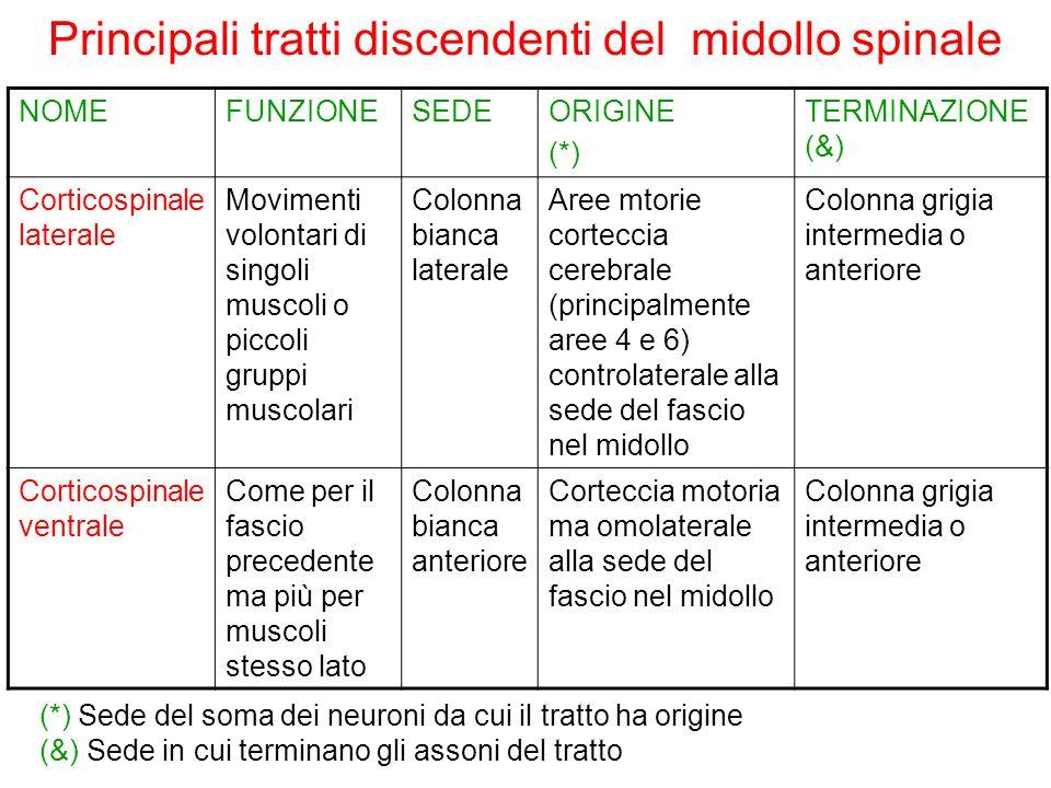 Principali tratti discendenti del midollo spinale NOMEFUNZIONESEDEORIGINE (*) TERMINAZIONE (&) Corticospinale laterale Movimenti volontari di singoli