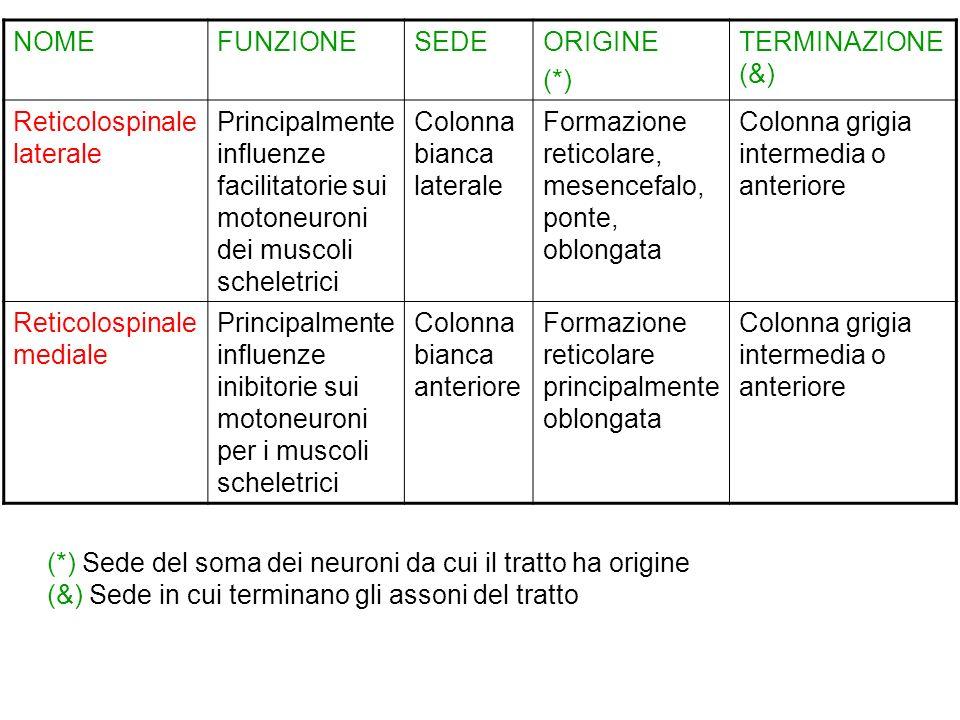 NOMEFUNZIONESEDEORIGINE (*) TERMINAZIONE (&) Reticolospinale laterale Principalmente influenze facilitatorie sui motoneuroni dei muscoli scheletrici C