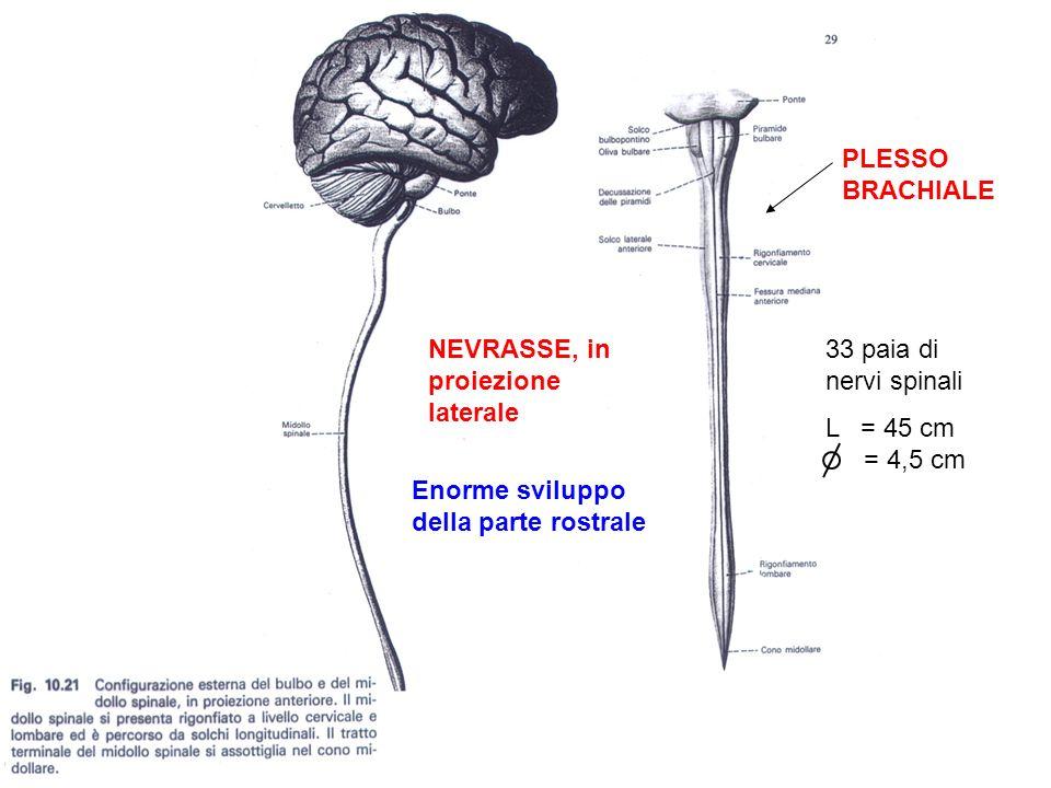 NOMEFUNZIONESEDEORIGINE (*) TERMINAZIONE (&) Fascicoli gracile e cuneato Sensibilità tattile discriminata e senso di pressione, vibrazione, stereognosi e discriminazione tra due punti; sensibilità propriocettiva cosciente Colonna bianca posteriore Ganglio spinale stesso lato Oblungata Spinocerebel lare dorsale Propriocettiva incosciente Colonna bianca laterale Colonna grigia posteriore Cervelletto (*) Sede del soma dei neuroni da cui il tratto ha origine (&) Sede in cui terminano gli assoni del tratto