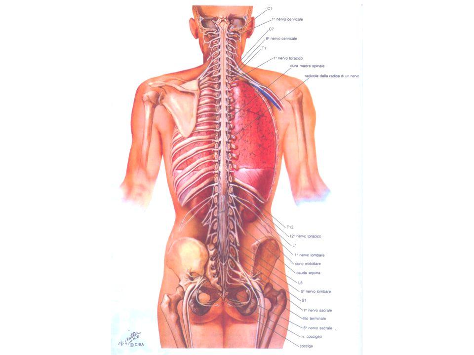 Principali tratti discendenti del midollo spinale NOMEFUNZIONESEDEORIGINE (*) TERMINAZIONE (&) Corticospinale laterale Movimenti volontari di singoli muscoli o piccoli gruppi muscolari Colonna bianca laterale Aree mtorie corteccia cerebrale (principalmente aree 4 e 6) controlaterale alla sede del fascio nel midollo Colonna grigia intermedia o anteriore Corticospinale ventrale Come per il fascio precedente ma più per muscoli stesso lato Colonna bianca anteriore Corteccia motoria ma omolaterale alla sede del fascio nel midollo Colonna grigia intermedia o anteriore (*) Sede del soma dei neuroni da cui il tratto ha origine (&) Sede in cui terminano gli assoni del tratto
