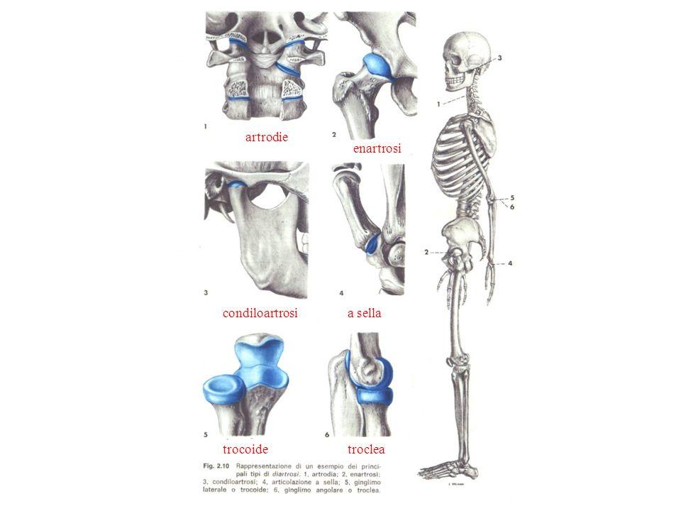 artrodie enartrosi condiloartrosia sella trocoidetroclea