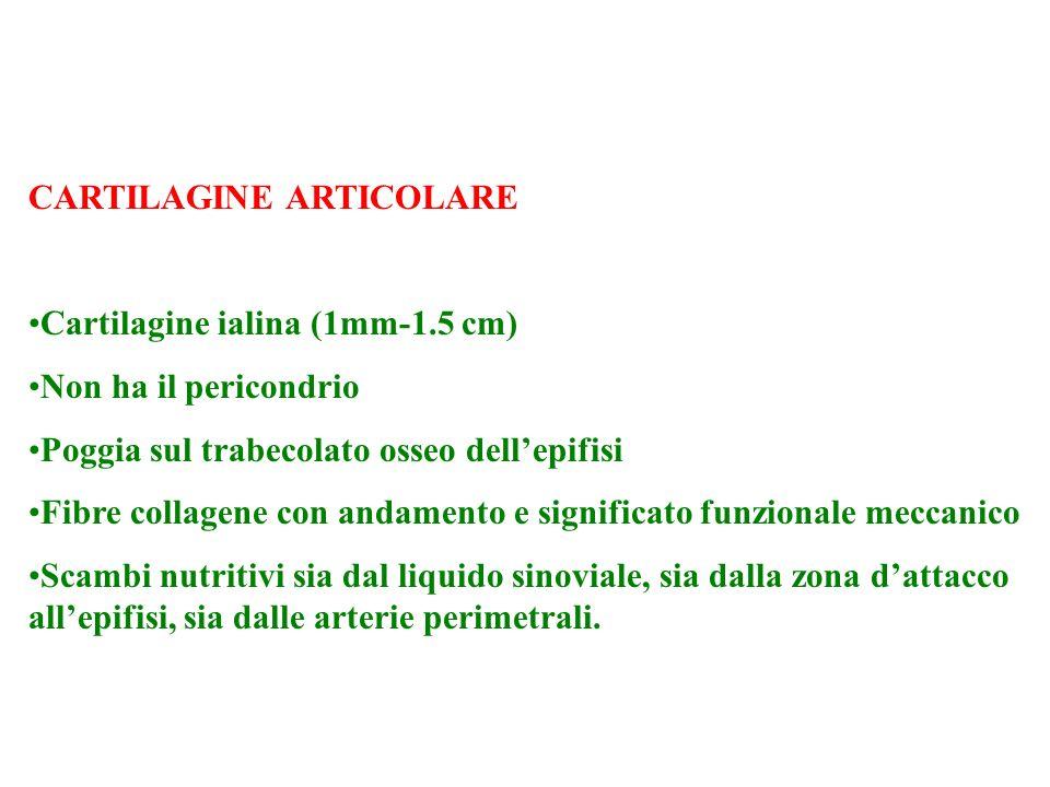 CARTILAGINE ARTICOLARE Cartilagine ialina (1mm-1.5 cm) Non ha il pericondrio Poggia sul trabecolato osseo dellepifisi Fibre collagene con andamento e