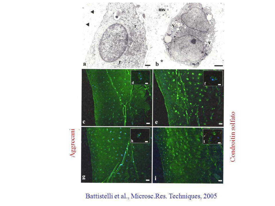 Condroitin solfato Aggrecani Battistelli et al., Microsc.Res. Techniques, 2005