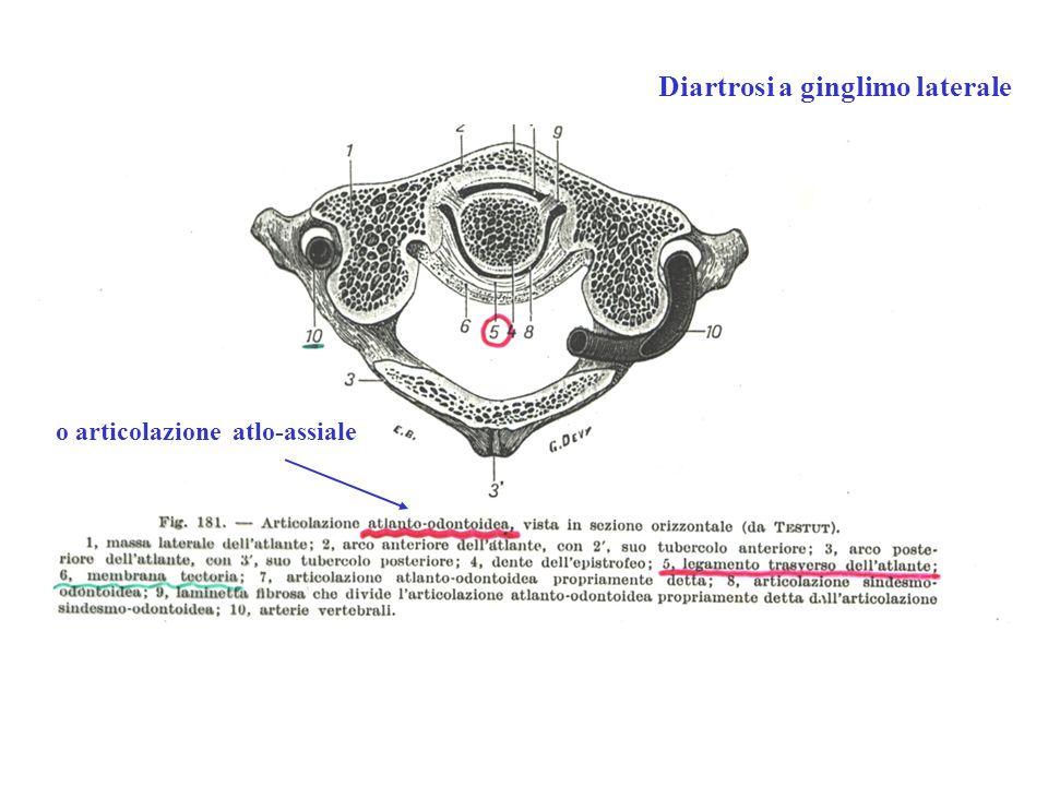 o articolazione atlo-assiale Diartrosi a ginglimo laterale
