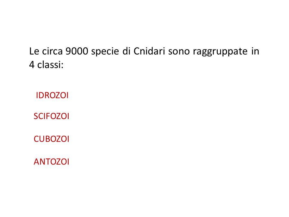 Le circa 9000 specie di Cnidari sono raggruppate in 4 classi: IDROZOI SCIFOZOI CUBOZOI ANTOZOI