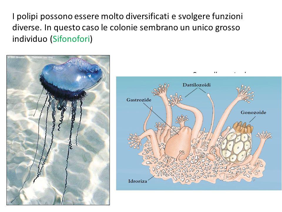 I polipi possono essere molto diversificati e svolgere funzioni diverse. In questo caso le colonie sembrano un unico grosso individuo (Sifonofori) Car