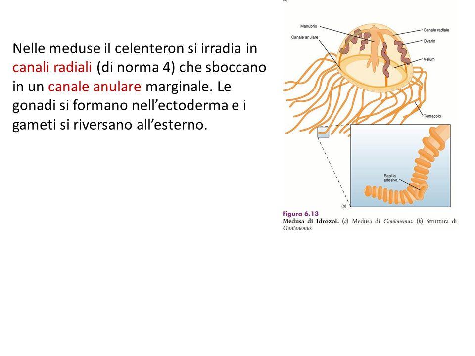 Nelle meduse il celenteron si irradia in canali radiali (di norma 4) che sboccano in un canale anulare marginale. Le gonadi si formano nellectoderma e