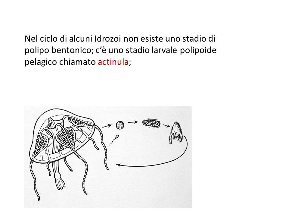 Nel ciclo di alcuni Idrozoi non esiste uno stadio di polipo bentonico; cè uno stadio larvale polipoide pelagico chiamato actinula;