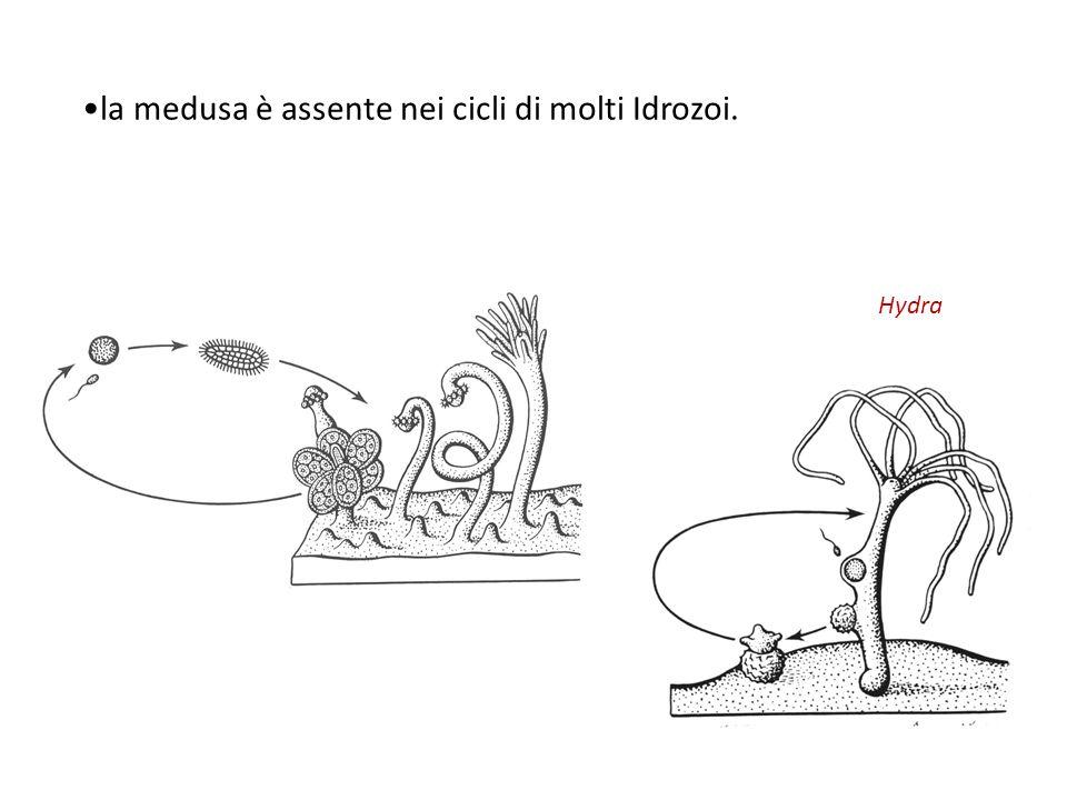 la medusa è assente nei cicli di molti Idrozoi. Hydra
