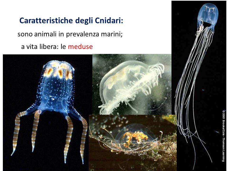 Caratteristiche degli Cnidari: sono animali in prevalenza marini; a vita libera: le meduse