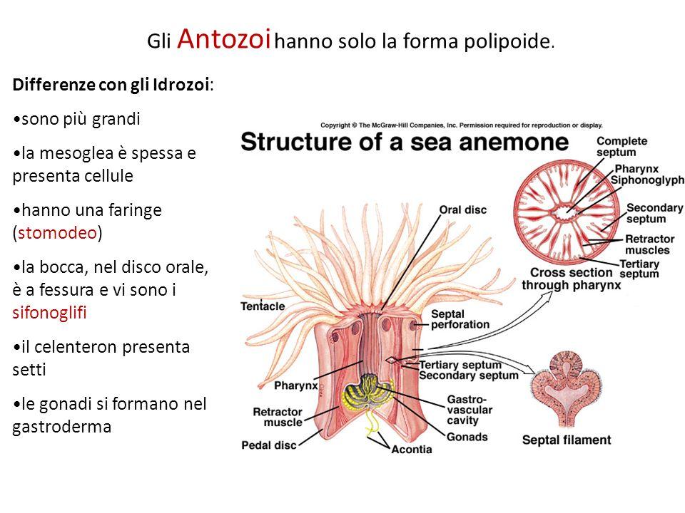 Gli Antozoi hanno solo la forma polipoide. Differenze con gli Idrozoi: sono più grandi la mesoglea è spessa e presenta cellule hanno una faringe (stom
