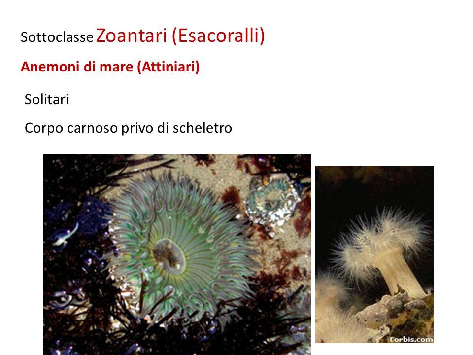 Solitari Corpo carnoso privo di scheletro Sottoclasse Zoantari (Esacoralli) Anemoni di mare (Attiniari)