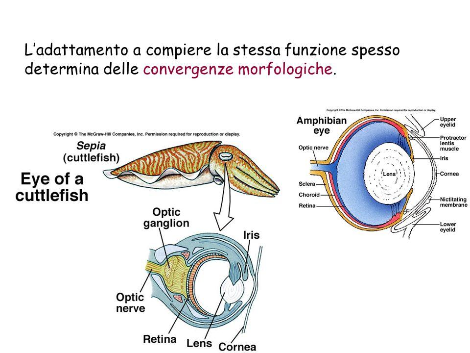 Ladattamento a compiere la stessa funzione spesso determina delle convergenze morfologiche.