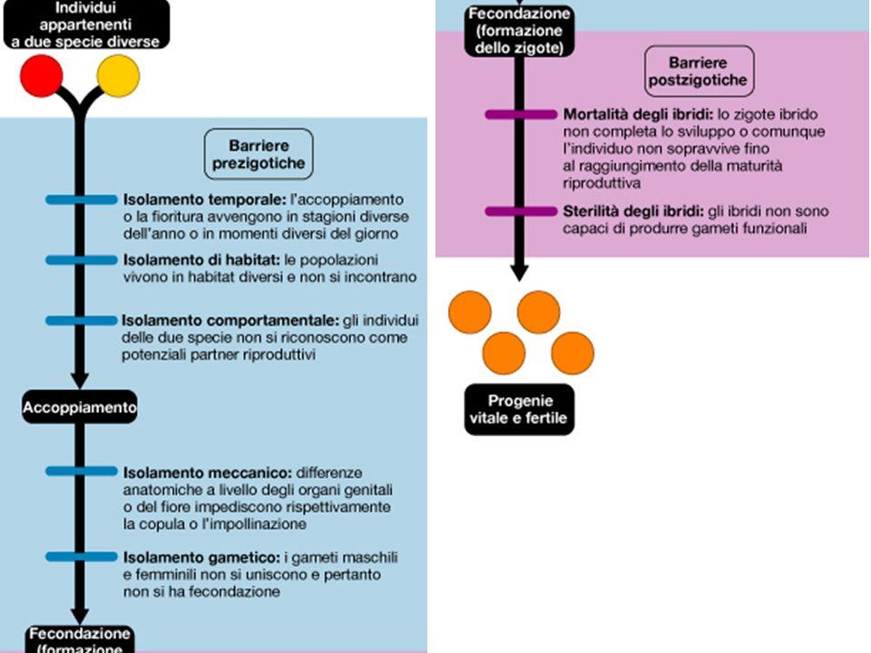 SISTEMATICA FILOGENETICA O CLADISTICA E più rigorosa di quella evolutiva.