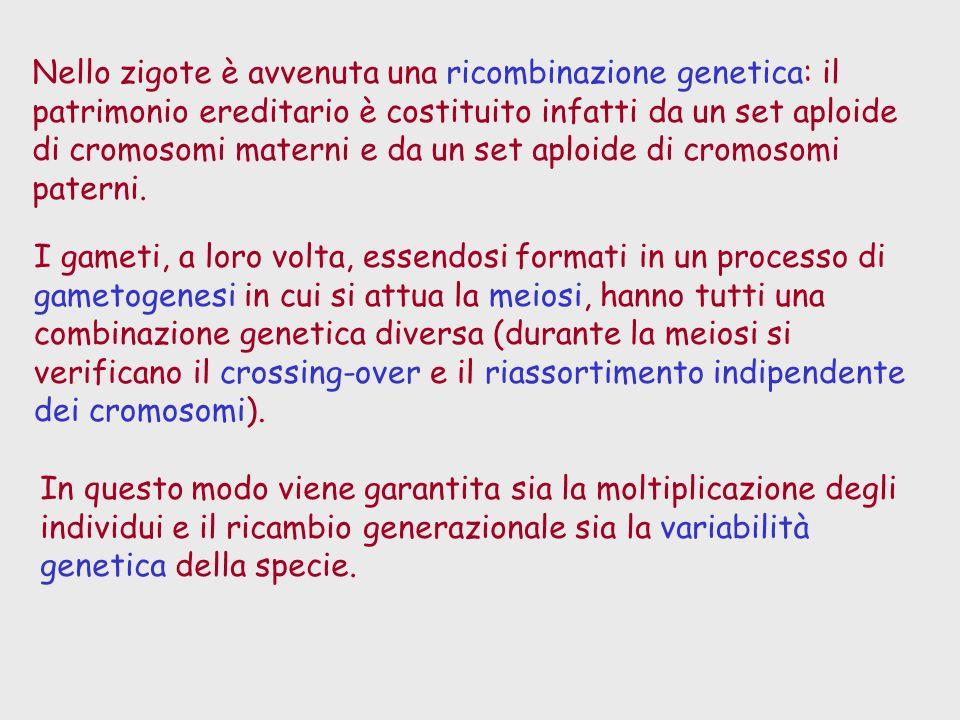 Nello zigote è avvenuta una ricombinazione genetica: il patrimonio ereditario è costituito infatti da un set aploide di cromosomi materni e da un set