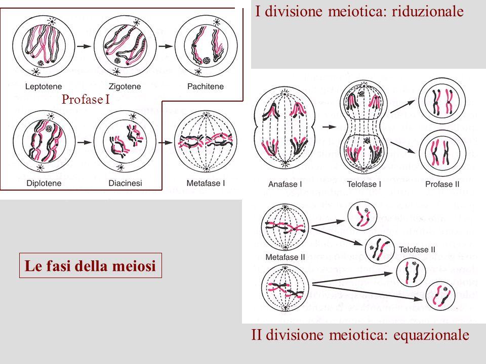 Profase I Le fasi della meiosi I divisione meiotica: riduzionale II divisione meiotica: equazionale