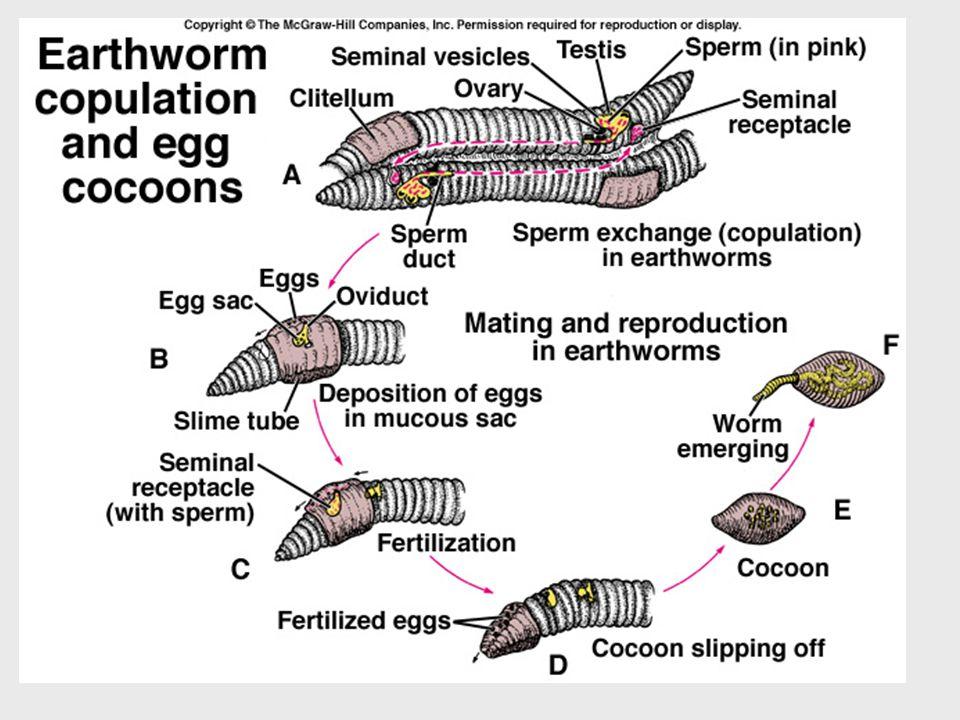 Anche le specie ermafrodite, dunque, si riproducono per anfigonia.