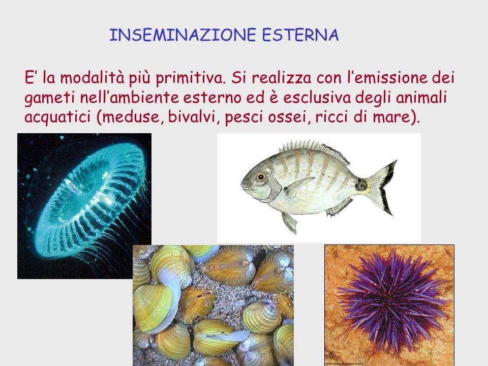INSEMINAZIONE ESTERNA E la modalità più primitiva. Si realizza con lemissione dei gameti nellambiente esterno ed è esclusiva degli animali acquatici (