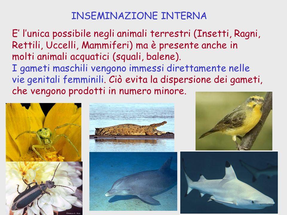 INSEMINAZIONE INTERNA E lunica possibile negli animali terrestri (Insetti, Ragni, Rettili, Uccelli, Mammiferi) ma è presente anche in molti animali ac