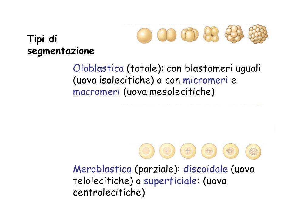 Tipi di segmentazione Oloblastica (totale): con blastomeri uguali (uova isolecitiche) o con micromeri e macromeri (uova mesolecitiche) Meroblastica (p
