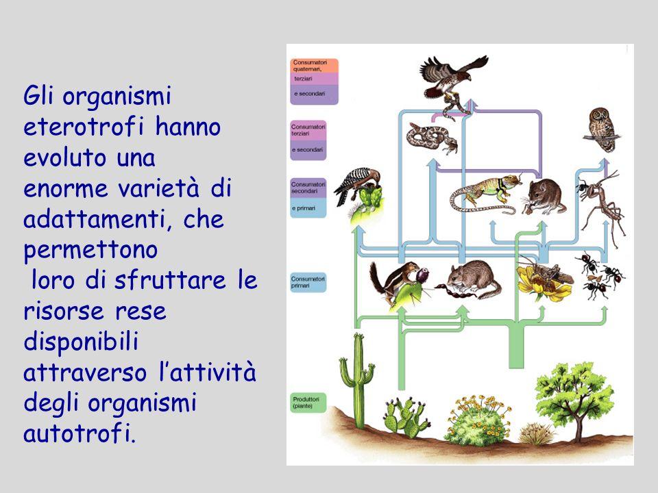 Gli organismi eterotrofi hanno evoluto una enorme varietà di adattamenti, che permettono loro di sfruttare le risorse rese disponibili attraverso latt