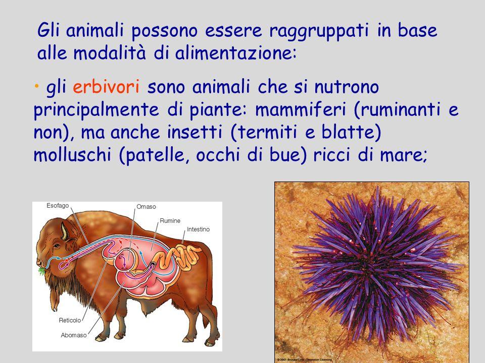 gli erbivori sono animali che si nutrono principalmente di piante: mammiferi (ruminanti e non), ma anche insetti (termiti e blatte) molluschi (patelle