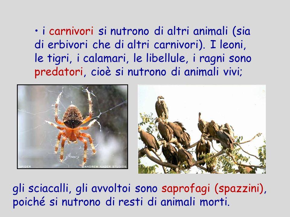 i carnivori si nutrono di altri animali (sia di erbivori che di altri carnivori). I leoni, le tigri, i calamari, le libellule, i ragni sono predatori,