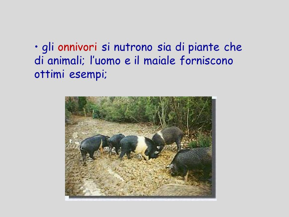 gli onnivori si nutrono sia di piante che di animali; luomo e il maiale forniscono ottimi esempi;
