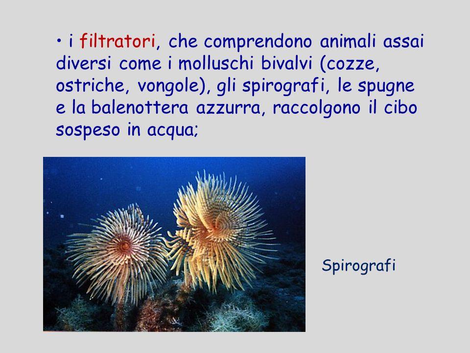 i filtratori, che comprendono animali assai diversi come i molluschi bivalvi (cozze, ostriche, vongole), gli spirografi, le spugne e la balenottera az