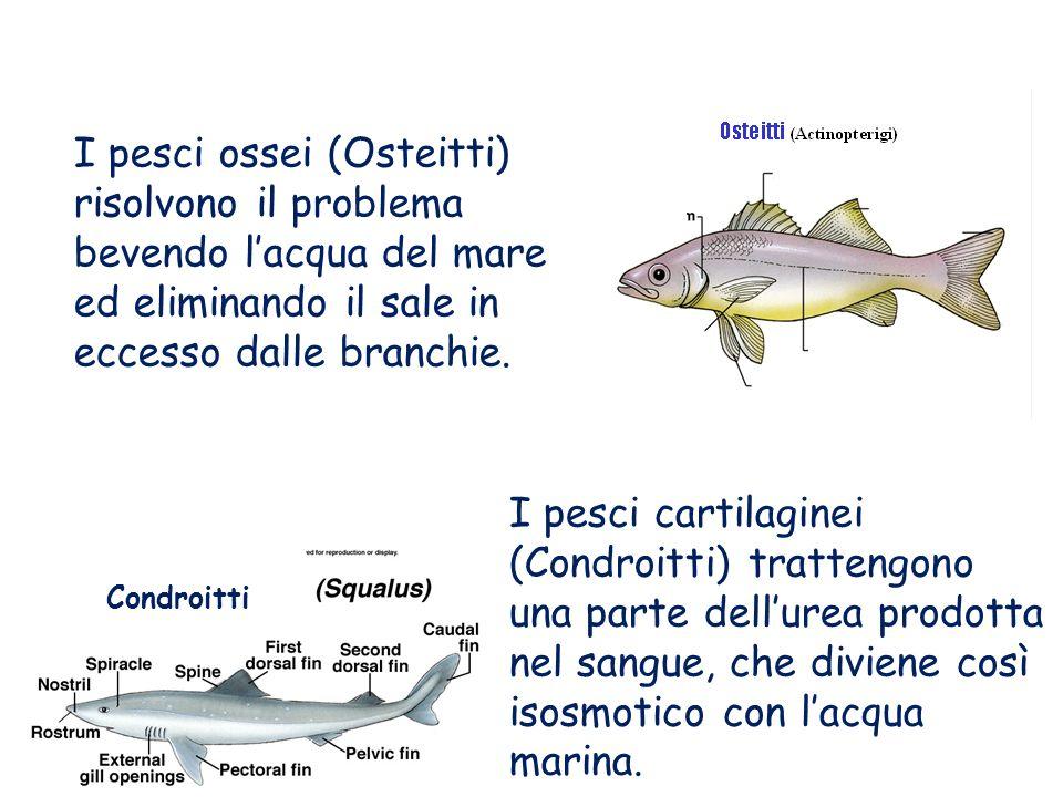 I pesci ossei (Osteitti) risolvono il problema bevendo lacqua del mare ed eliminando il sale in eccesso dalle branchie. I pesci cartilaginei (Condroit