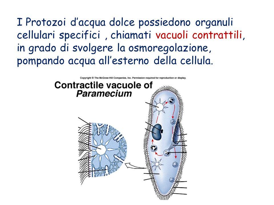 I Protozoi dacqua dolce possiedono organuli cellulari specifici, chiamati vacuoli contrattili, in grado di svolgere la osmoregolazione, pompando acqua