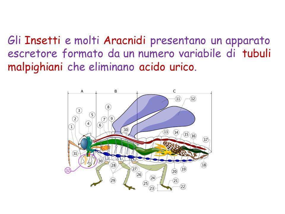 I Protozoi dacqua dolce possiedono organuli cellulari specifici, chiamati vacuoli contrattili, in grado di svolgere la osmoregolazione, pompando acqua allesterno della cellula.