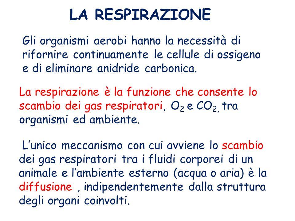 Gli organismi aerobi hanno la necessità di rifornire continuamente le cellule di ossigeno e di eliminare anidride carbonica. La respirazione è la funz