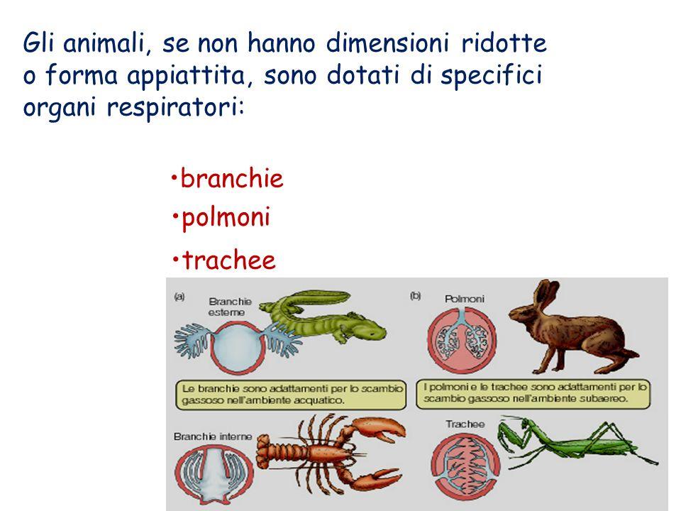 Branchie : estroflessioni dellepidermide, ramificate e vascolarizzate, proprie degli animali acquatici.