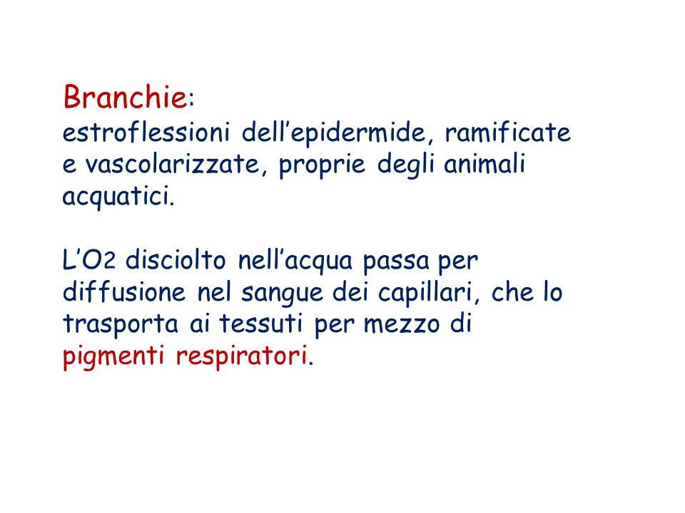 Branchie : estroflessioni dellepidermide, ramificate e vascolarizzate, proprie degli animali acquatici. LO 2 disciolto nellacqua passa per diffusione