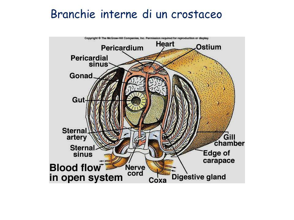 Branchie interne di un crostaceo