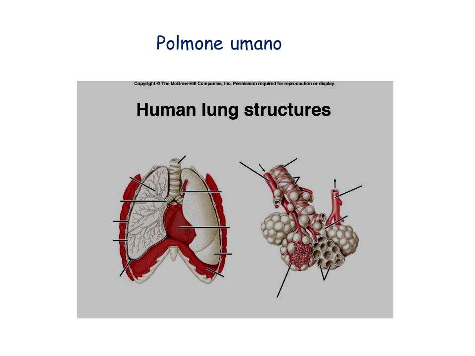 Trachee (Insetti, Miriapodi, molti Aracnidi): Introflessioni tubulari e ramificate in cui non avviene lo scambio gassoso; LO2 viene portato direttamente ai tessuti dalle sottili ramificazioni terminali; qui avviene lo scambio per diffusione.
