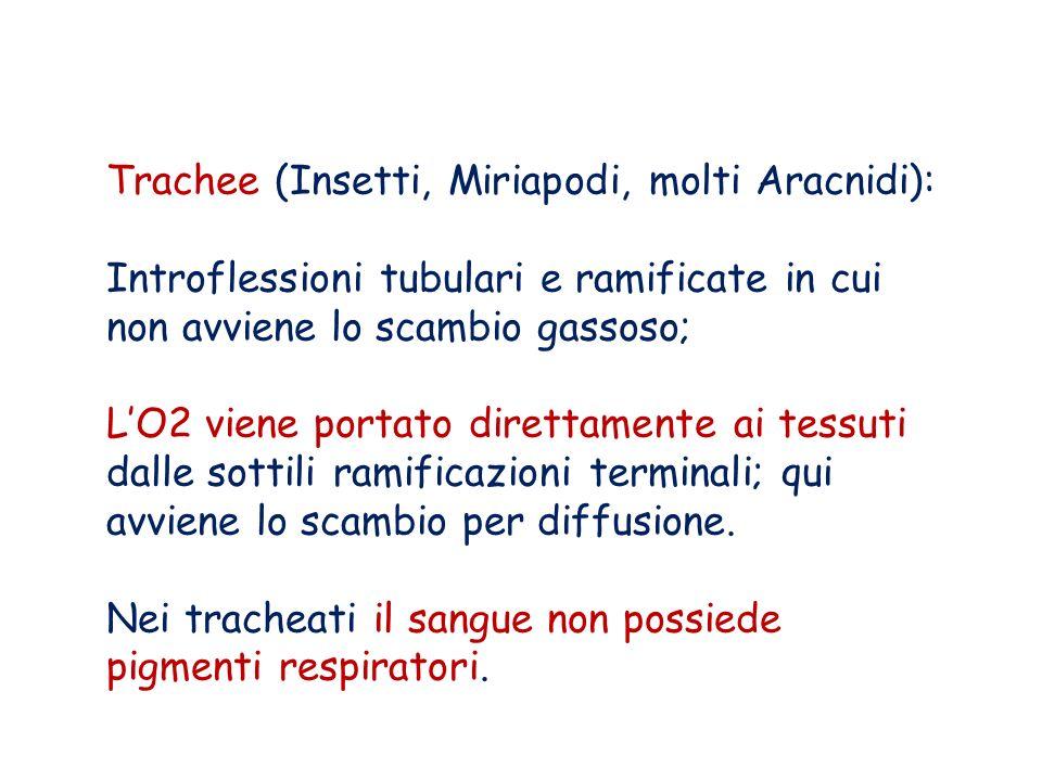 Trachee (Insetti, Miriapodi, molti Aracnidi): Introflessioni tubulari e ramificate in cui non avviene lo scambio gassoso; LO2 viene portato direttamen