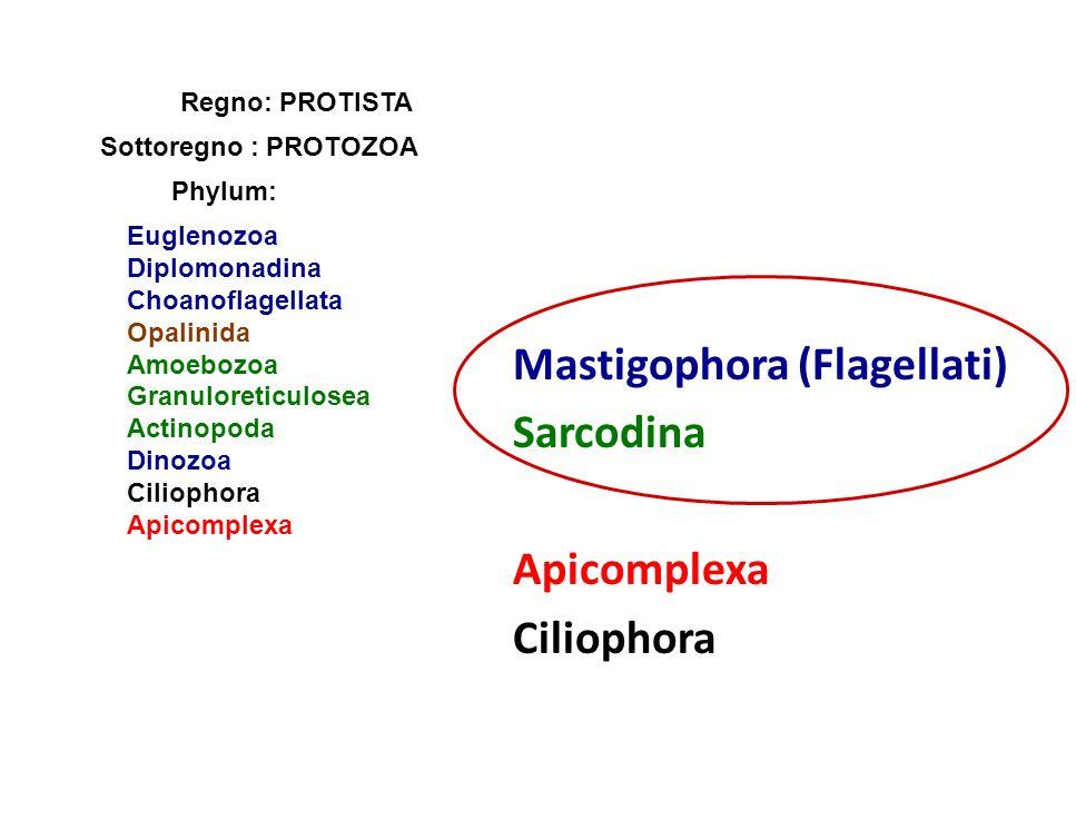 Mastigophora (Flagellati) Sarcodina Apicomplexa Ciliophora Regno: PROTISTA Sottoregno : PROTOZOA Phylum: Euglenozoa Diplomonadina Choanoflagellata Opa