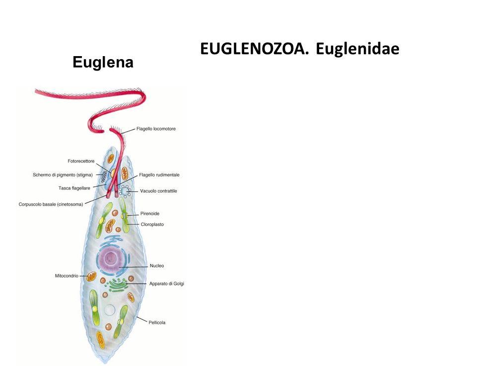 Euglena EUGLENOZOA. Euglenidae