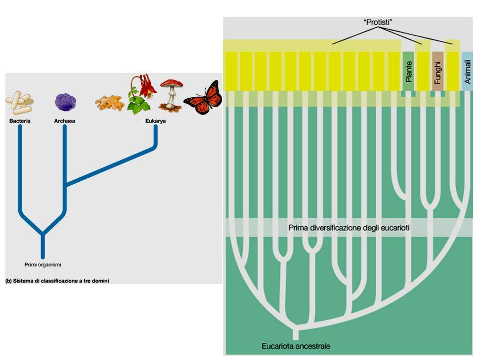 RETICULOGRANULOSEA Foraminiferi