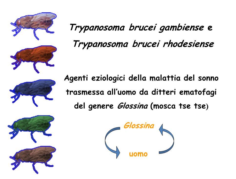 Trypanosoma brucei gambiense e Trypanosoma brucei rhodesiense Glossina uomo Agenti eziologici della malattia del sonno trasmessa alluomo da ditteri em