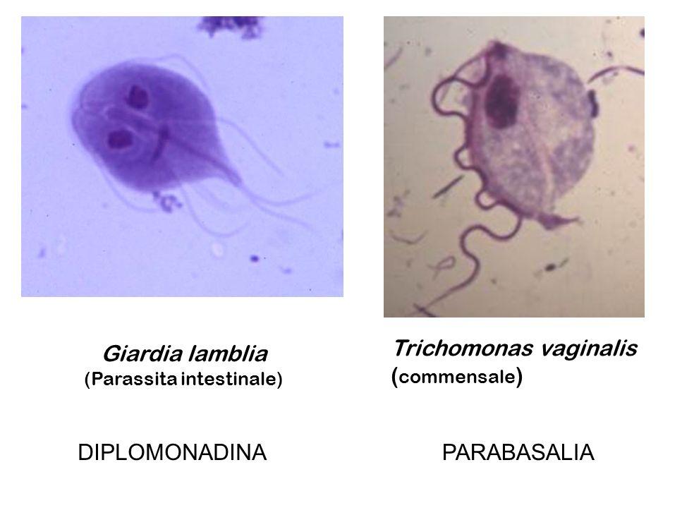 Giardia lamblia (Parassita intestinale) Trichomonas vaginalis ( commensale ) DIPLOMONADINAPARABASALIA