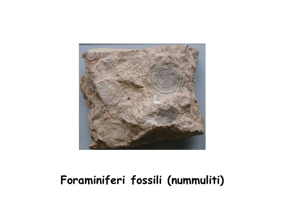 Foraminiferi fossili (nummuliti)