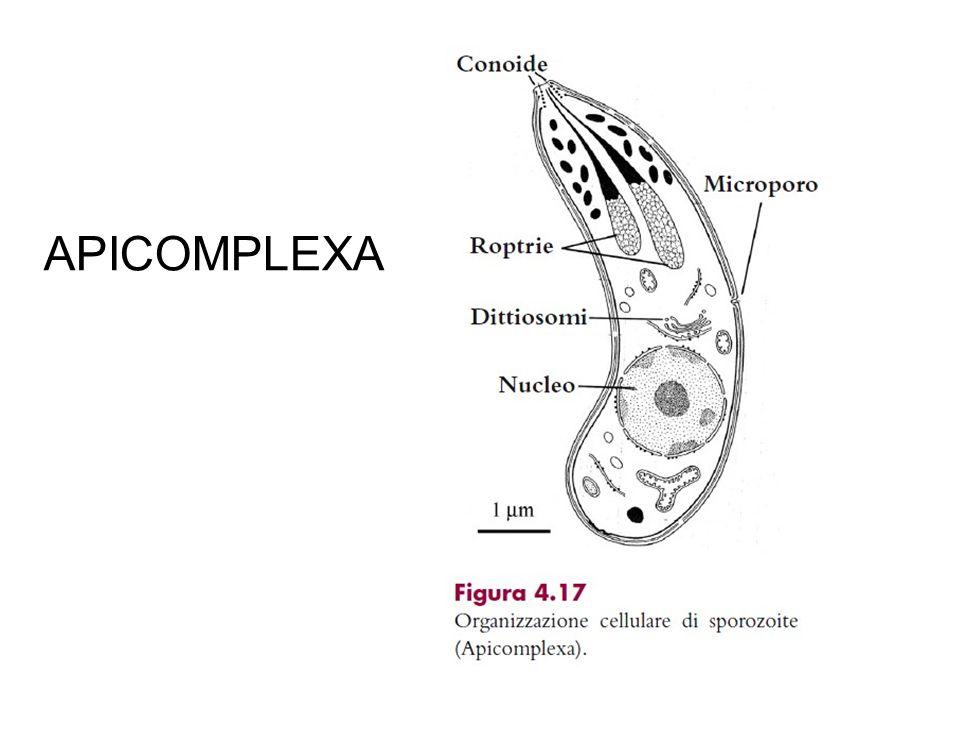 AA APICOMPLEXA