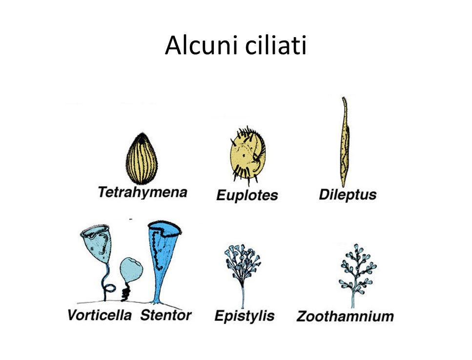 Alcuni ciliati