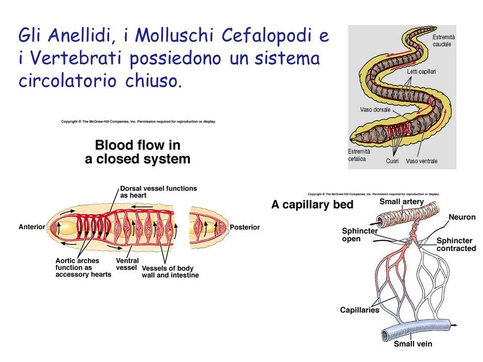 Gli Anellidi, i Molluschi Cefalopodi e i Vertebrati possiedono un sistema circolatorio chiuso.