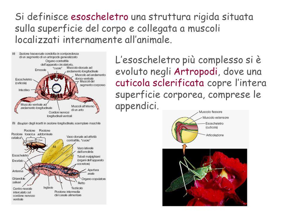 Si definisce esoscheletro una struttura rigida situata sulla superficie del corpo e collegata a muscoli localizzati internamente allanimale. Lesoschel