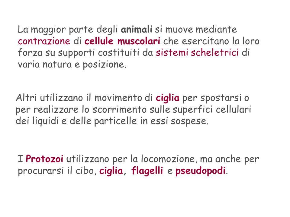 La maggior parte degli animali si muove mediante contrazione di cellule muscolari che esercitano la loro forza su supporti costituiti da sistemi schel